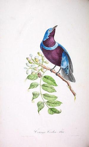 Banded cotinga - Image: Oiseaux brillans du Brésil Planche 18 (Cotinga maculata)