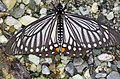 Open wing position of Papilio epycides Hewitson, 1862 – Lesser Mime WLB 1E7A7801p.jpg