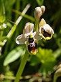 Ophrys neglecta (flower).jpg