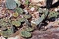 Opuntia humifusa 15zz.jpg