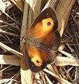 Orange Bush-brown (wet-season form) Mycalesis terminus (8501666917).jpg