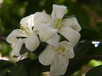 Murraya paniculata - M. paniculata