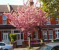 Orchard Rd cherry tree, SUTTON, Surrey, Greater London (2).jpg