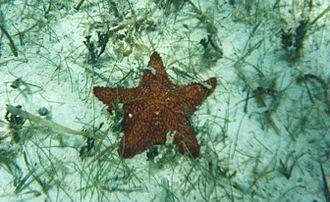 Oreaster reticulatus - The red cushion sea star, Oreaster reticulatus, at San Salvador Island, Bahamas