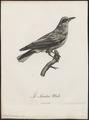 Oriolus auratus - 1796-1808 - Print - Iconographia Zoologica - Special Collections University of Amsterdam - UBA01 IZ16400179.tif