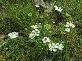 Orlaya grandiflora sl2.jpg