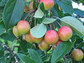 Ornamental apples in a garden.JPG