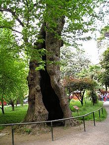 Platano Orientale (Platanus orientalis). Orto botanico di Padova