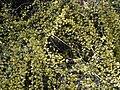 Osyris alba.jpg