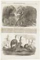 Otaria jubata - 1856 - Print - Iconographia Zoologica - Special Collections University of Amsterdam - UBA01 IZ21100031.tif