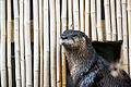 Otter and Bamboo Wall (22222758789).jpg