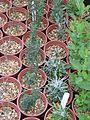Overwintering seedlings - Flickr - peganum.jpg