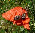 Oxythyrea funesta. Chafer. Cetoniinae. Scarabaeidae - Flickr - gailhampshire.jpg