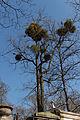 Père-Lachaise - arbres et gui.jpg