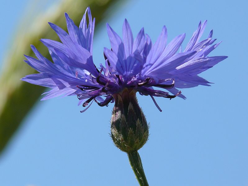 Datei:P1050835-centaurea-cyanus.jpg