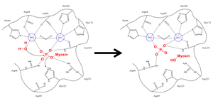 Myosin-light-chain phosphatase