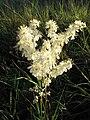 PR Kopeč, Filipendula vulgaris, flowers.jpg