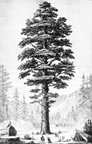 PSM V03 D341 Sequoia gigantea of california.jpg