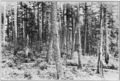 PSM V81 D538 A natural forest of white pine in minnesota.png