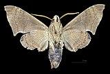 Pachygonidia subhamata MHNT CUT 2010 0 152 Coralie PK 3 Guyane female ventral.jpg