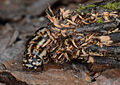 Pachythelia villosella larva.jpg