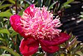 Paeonia lactiflora Bowl of Beauty 1zz.jpg