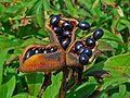 Paeonia officinalis 004.JPG