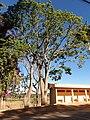 Paineira-rosa, (Ceiba glaziovii) no ponto de ônibus do IFMG - Bambuí. - panoramio.jpg
