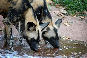 Painted Dogs Drinking Perth Zoo.jpg