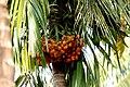 Palm (2148852262).jpg