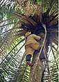 Palm Kannel harvester. the Kannel harvester make us of palm rope to climb the palm tree.jpg