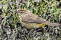 Palm Warbler - Western Morph (8705161431).jpg