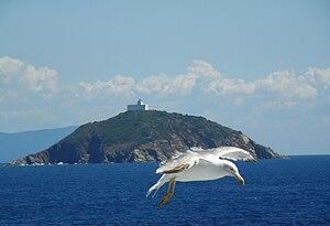 English: A gull flying fore Palmaiola island, ...