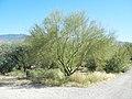 Paloverde, Saguaro National Park (Rincon Mountain District), Arizona (dd4d2da3-2d11-4ad7-b939-c23338e2b394).jpg