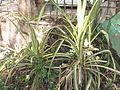 Pandanus sanderi-Lake park-1-yercaud-salem-India.JPG