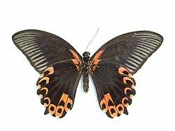 Papilio deiphobus Linnaeus, 1758.JPG