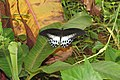 Papilio polymnestor Cramer, 1775 – Blue Mormon at Mayyil (6).jpg