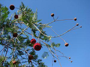Parkia - Parkia platycephala