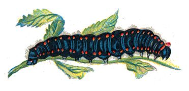 Parnassius apollo caterpillar by Nemos.jpg