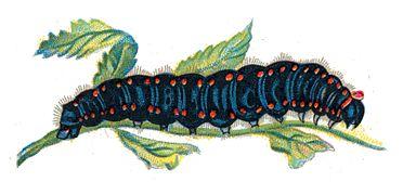 Parnassius apollo caterpillar by Nemos.jpg