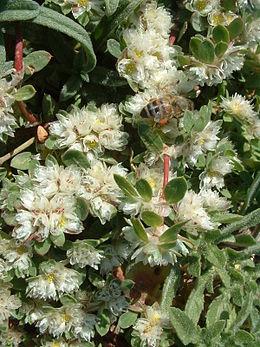 Paronychia argentea with bee RJP 02
