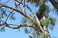 Parsonsia eucalyptophylla DSC 1189 (15228671350).jpg