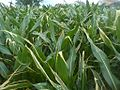 Part leaves maize destroyed by urea, which was used on wet leaves.jpg