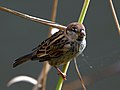 Passer hispaniolensis -Canary Islands, Spain -juvenile male-8.jpg