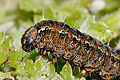 Pasture day moth caterpillar closeup.jpg