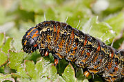 A Pasture Day Moth caterpillar feeding on capeweed