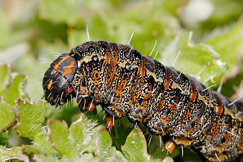 Pasture day moth caterpillar closeup