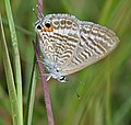 Pea Blue (Lampides boeticus) in Hyderabad, AP W IMG 9844.jpg