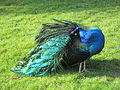 Peacocks at Royal Roads University, British Columbia (2012) - 3.JPG