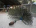 Peafowl-borujerd.jpg